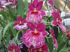 Orchideen Hawaii
